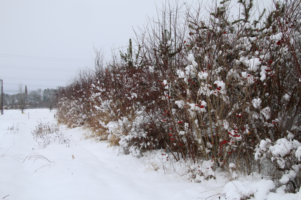 The Hedgerow